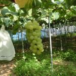6月中旬~8月下旬まで収穫販売