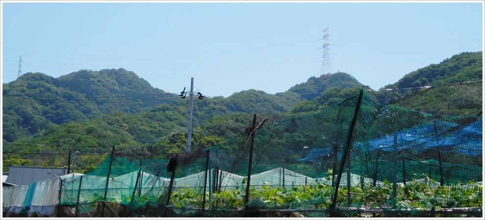 交野山とぶどう畑