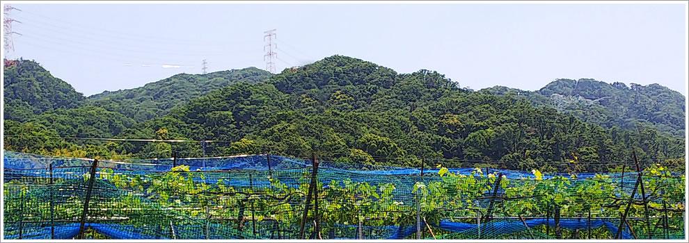 大阪府交野市神宮寺のぶどう畑