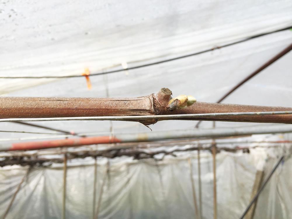 二重ハウスのシャインマスカットは芽が膨らんできたところです。