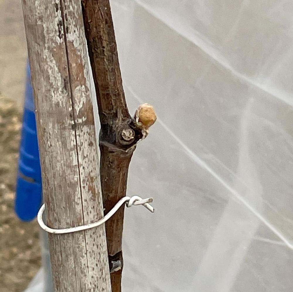 新しい品種スカーレットの蟹目の芽吹き